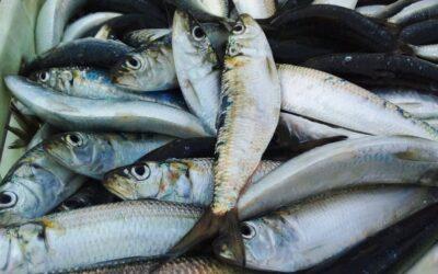 Plateado sardina